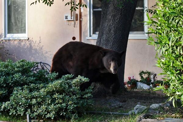 Glendale Bear returns to La Crescenta