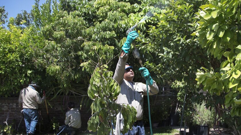 Work crews from the California Dept. of Food and Agriculture spray insecticide on citrus plants in a backyard home that might be affected by Asian Citrus Psyllid.