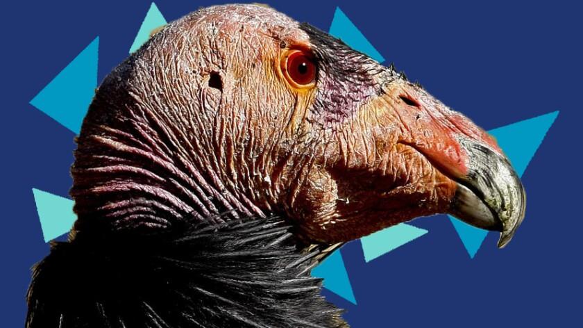 A male condor