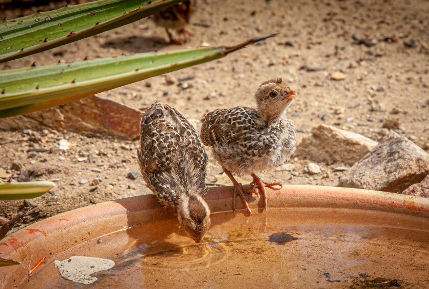 Quail chicks getting a drink this week.