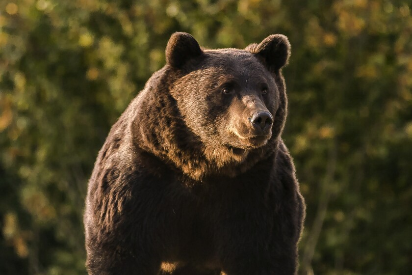 """In this Oct. 2019 handout photo provided by NGO Agent Green, Arthur, a 17 year-old bear, is seen in the Covasna county, Romania. Romanian police will investigate a case involving Emanuel von und zu Liechtenstein, an Austrian prince who is reported to have """"wrongly"""" killed the massive male bear in a trophy hunt on a visit to the country's Carpathian Mountains in March, 2021. (Agent Green via AP)"""