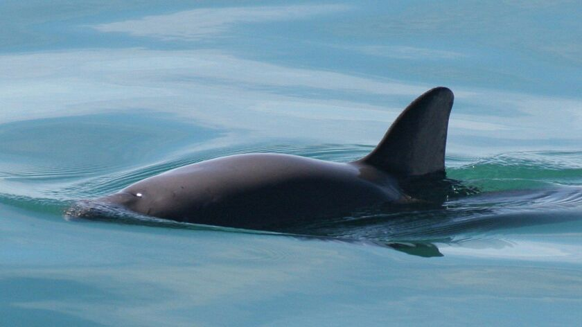The vaquita can grow to four or five feet long and weigh up to 120 pounds. Paula Olson • NOAA