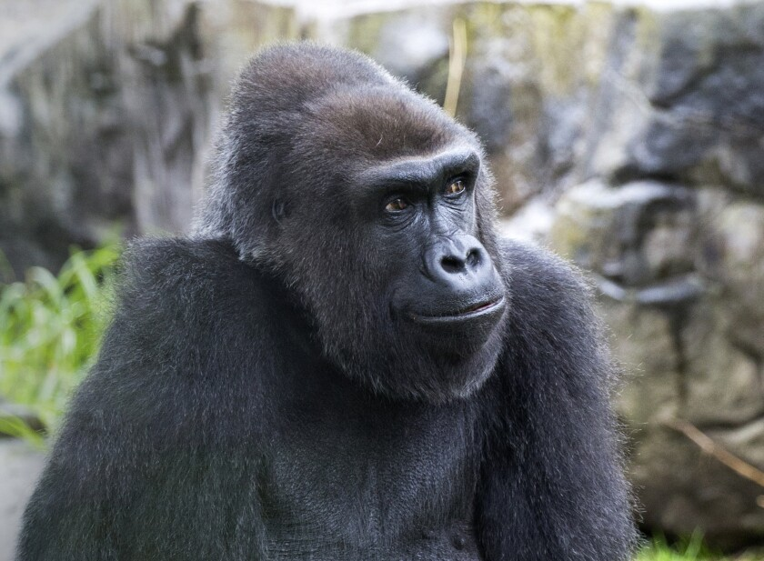 This 2017 photo provided by the San Francisco Zoo & Gardens shows Zura, a Western lowland female gorilla. Officials from San Francisco Zoo & Gardens announced Friday, Nov. 20, 2020, the passing today of its beloved Zura, a 39-year-old female Western lowland gorilla who has been a favorite and popular Zoo resident for generations of Bay Area families. (Marianne V. Hale/San Francisco Zoo & Gardens via AP)
