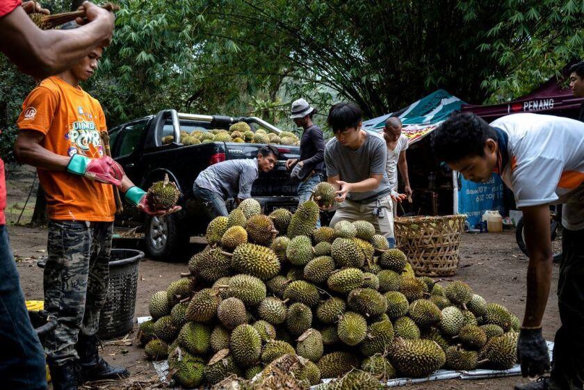 Los trabajadores de Tan Eow Chong cosechan durians en una granja mientras su hijo, Tan Chee Keat, centro, verifica la calidad de la cosecha en Bayan Lepas, Malasia. (Suzanne Lee / Especial para el Times)