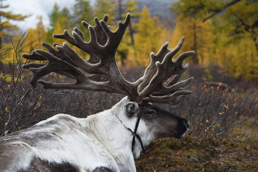 Santa's reindeer will need to have embedded chips or ear tags and respond to their names, according to the U.S. Department of Agriculture.