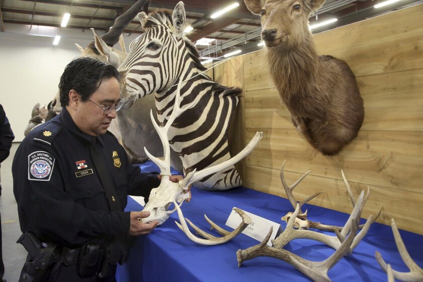 "Officer Owen Teruya, U.S. Customs and Border Protection holds deer antlers in Carson, Calif., Wednesday, Aug. 6, 2014. U.S. Customs and Border Protection announced and displayed the taxidermy take with an estimated value of nearly $9,000 on Wednesday. They were seized last month at a port inspection when officers found seven boxes with ""animal heads"" written on them. (AP Photo/ Nick Ut )"