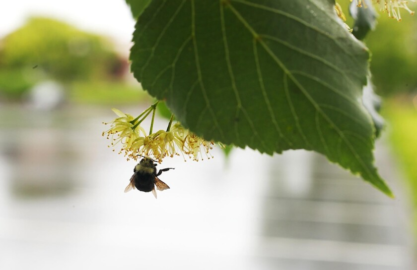 Oregon is restricting the use of certain pesticides after some 50,000 bumblebees were found dead earlier this month.