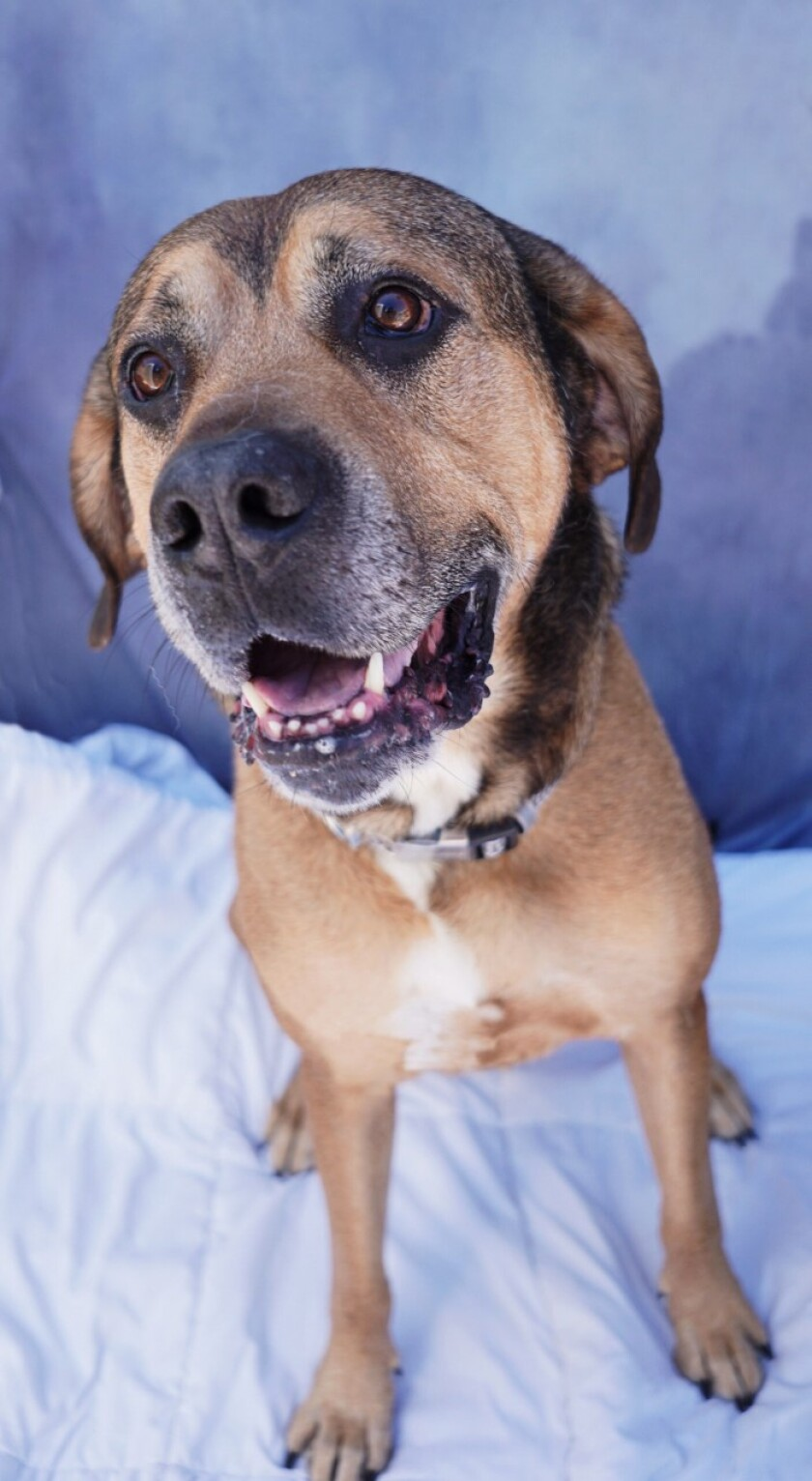Pet of the week is a friendly hound at Rancho Coastal Humane Society.