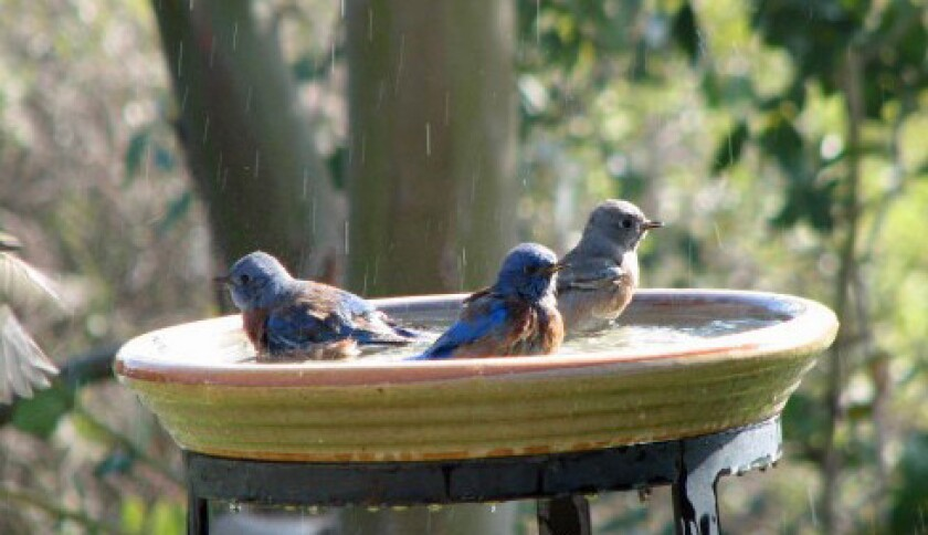 Bluebirds 2-crop.jpg
