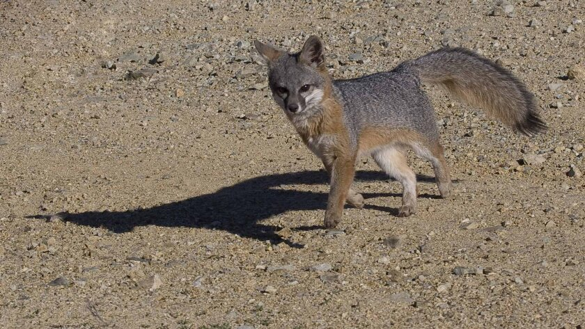 An endangered Catalina Island Fox. Photo courtesy of the Catalina Island Conservancy.