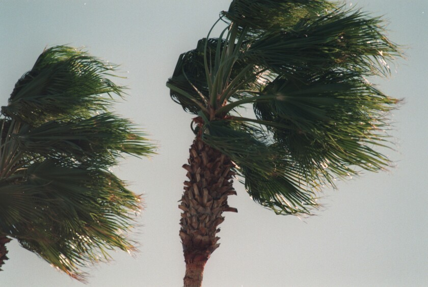Fan palms are blown by strong winds in the San Fernando Valley.