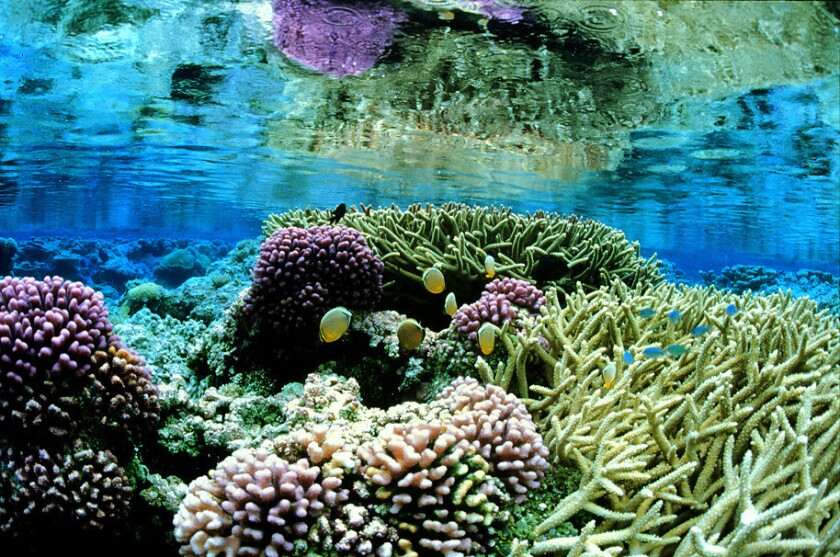 Pink corals grow on the sea floor around Palmyra Atoll, part of Pacific Remote Islands Marine National Monument.