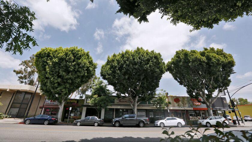 Magnolia Boulevard ficus trees