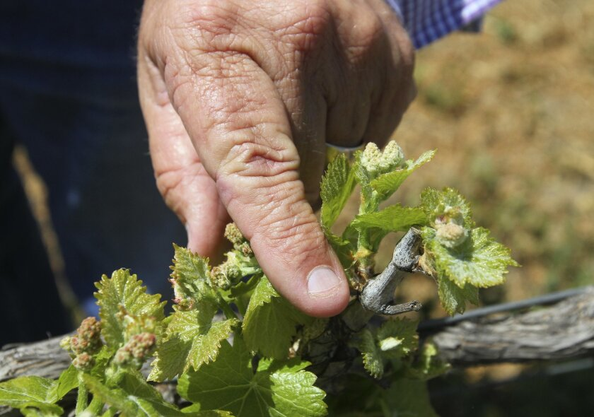 Ben Drake shows off the new growth on a vine of grenache grapes in a vineyard at Europe Village in the Wine Country east of Temecula.