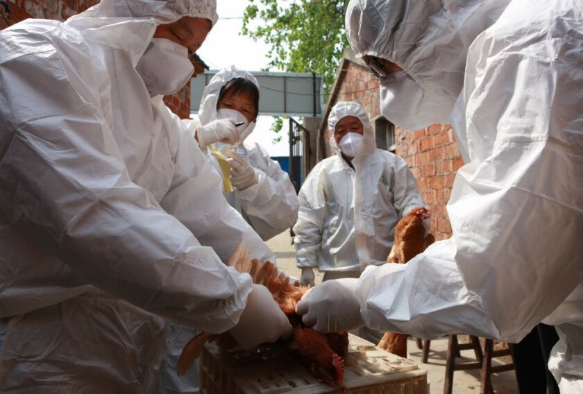 Health workers collect blood samples from chickens at a poultry farm in Taizhou, China, to check for signs of H7N9 influenza.