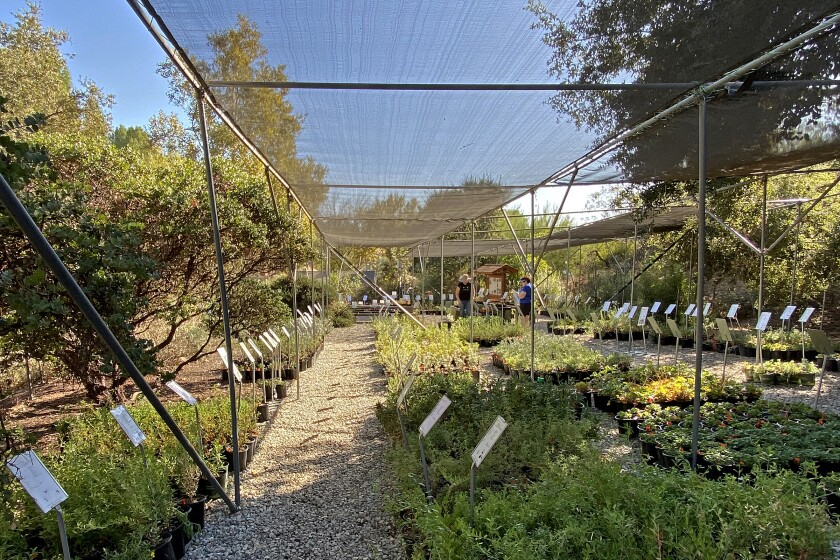 Rows of plants at the Theodore Payne Foundation Fall Sale last year.