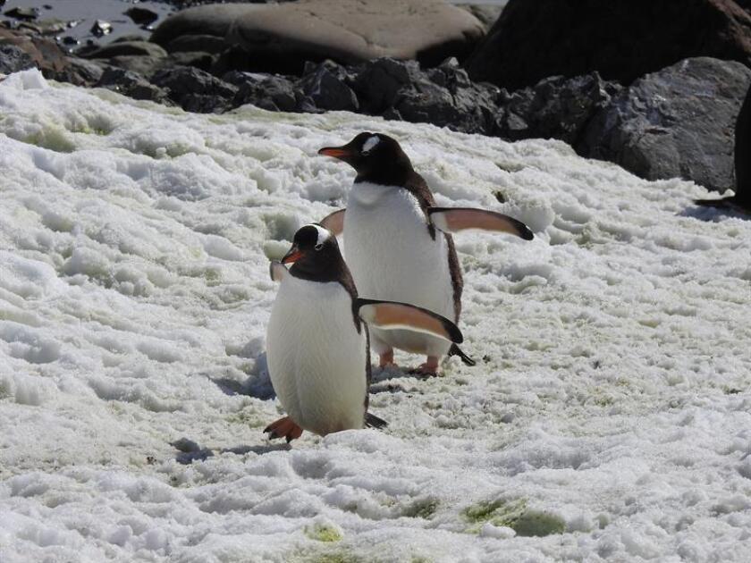 Fotografía de archivo de dos pingüinos. EFE/Archivo