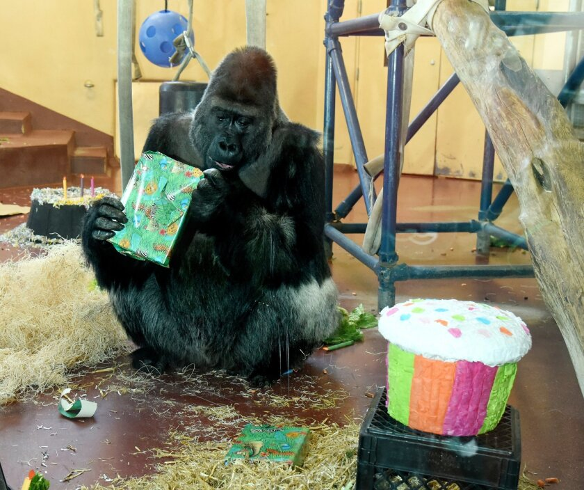 Motuba, a Western lowland gorilla at the Philadelphia Zoo, opens a present the staff put out for him to celebrate his 31st birthday, Thursday, Jan. 28, 2016. His actual birthday was Jan. 23, but the celebration was postponed due to the blizzard. (Clem Murray/The Philadelphia Inquirer via AP) PHIX OUT; TV OUT; MAGS OUT; NEWARK OUT; MANDATORY CREDIT
