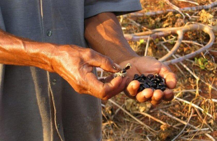 A farmer holds castor beans. Ricin occurs naturally in castor beans.