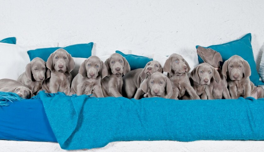 An image from jilaweimaranerpuppies.com, named in a Better Business Bureau report detailing how websites purporting to sell puppies have ripped off consumers