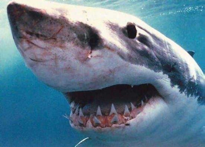 A great white shark was sighted off the coast of La Jolla Shores, late Monday afternoon.