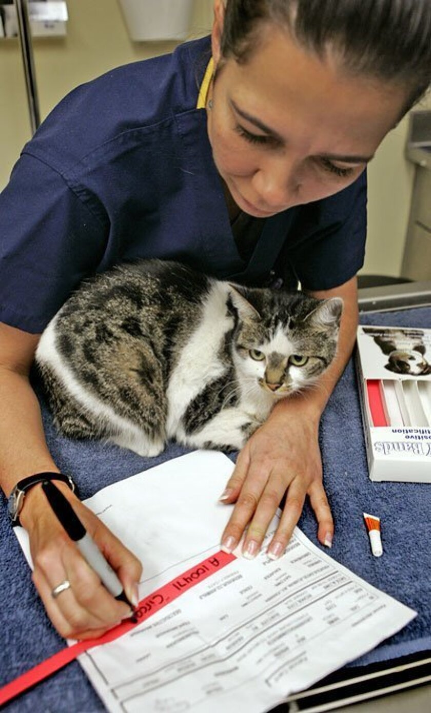 At the Chula Vista Animal Shelter, registered veterinarian technician Arlene Martinez filled out a  collar for Circa, whose owners gave her up after being foreclosed on. (Nelvin C. Cepeda / Union-Tribune)