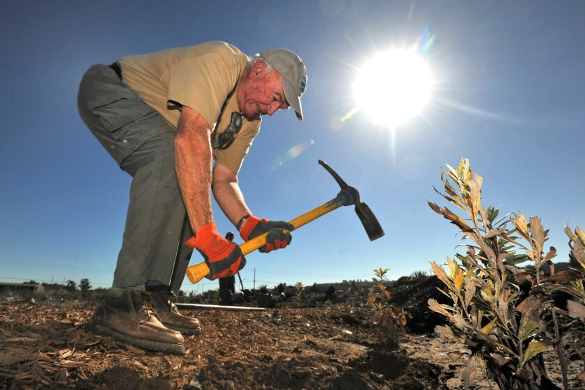 Volunteer David Jones digs through mud and stone to plant as volunteers work with the San Dieguito River Park on the Dust Devil Nature Trail. / Photo for U-T San Diego by John Koster CREDIT: John Koster