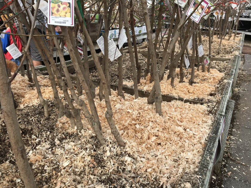 bare-root fruit trees in sawdust