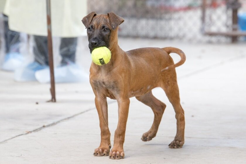 One of the dogs rescued from a Korean puppy mill plays with a tennis ball.