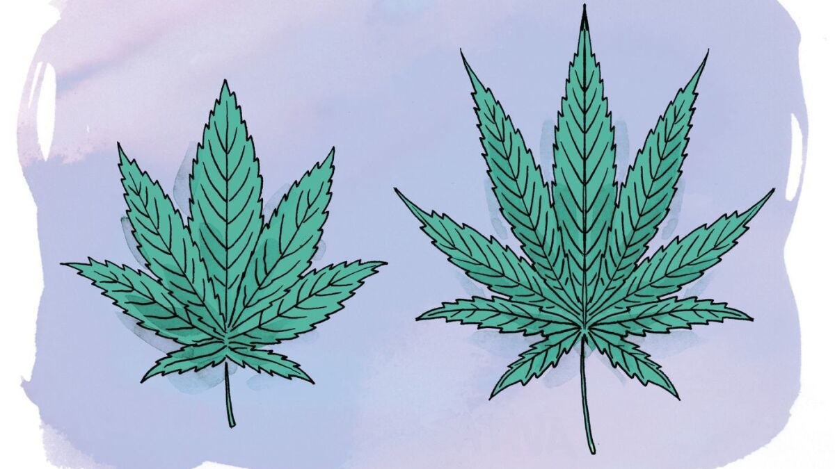 Sativa O Indica Cbd O Thc Lo Que Hay Que Saber Antes De Cocinar Con Cannabis Los Angeles Times