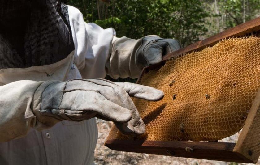 Fotografía de archivo fechada el 16 de mayo de 2018, que muestra a un granjero mientras recolecta miel de un apiario, en Yucatán (México). EFE/STR