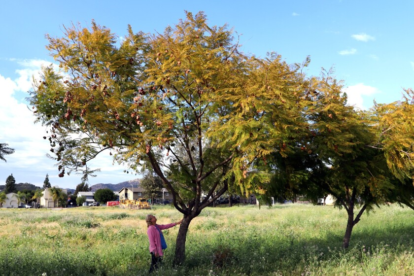 Betty McMillen stands next to one of the jacaranda trees on Woodside Avenue in Lakeside that is slated to be removed.