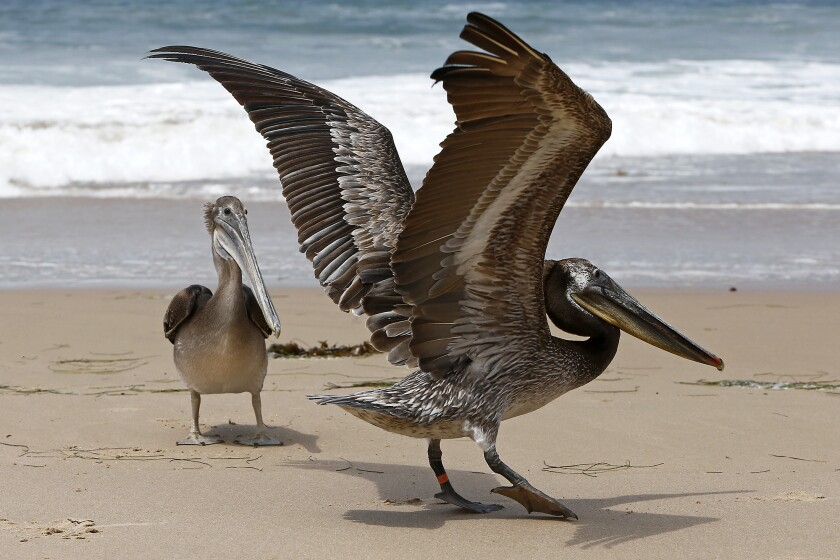 Two rescued pelicans are released at Crystal Cove State Beach in Newport Beach.