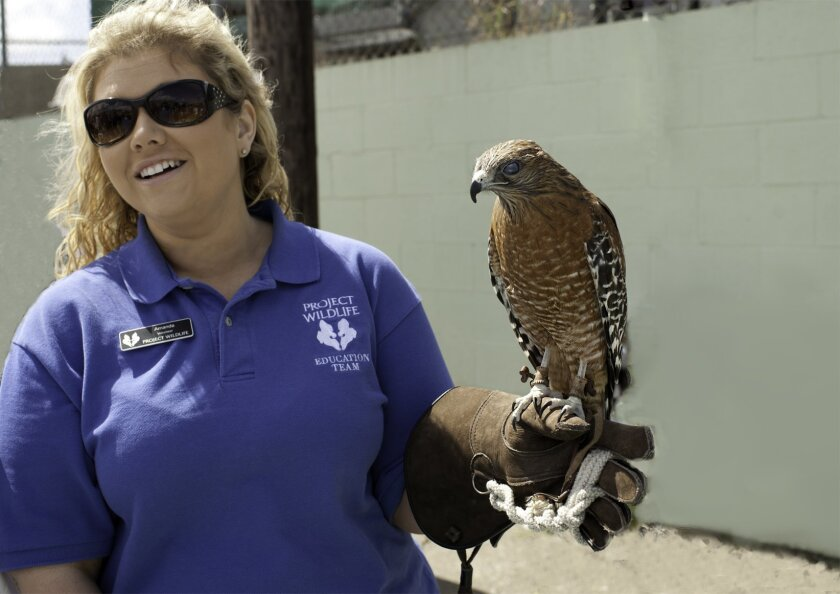 Project Wildlife Education volunteer Amanda Plante handles Animal Ambassador KwaPai, an adult male Red-shouldered Hawk, during the group's 2012 Wildlife Baby Shower event.