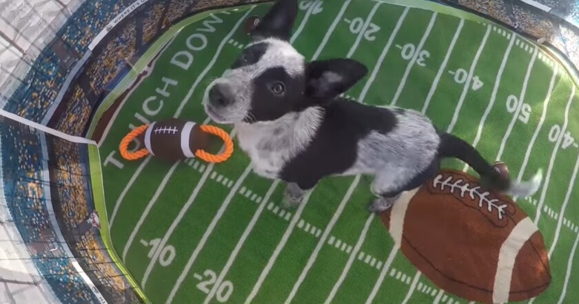 "Meet Bandit, from San Diego, who will be featured on Animal Planet's ""Puppy Bowl XVII"" Feb. 7 as an ""Adoptable Pup."""