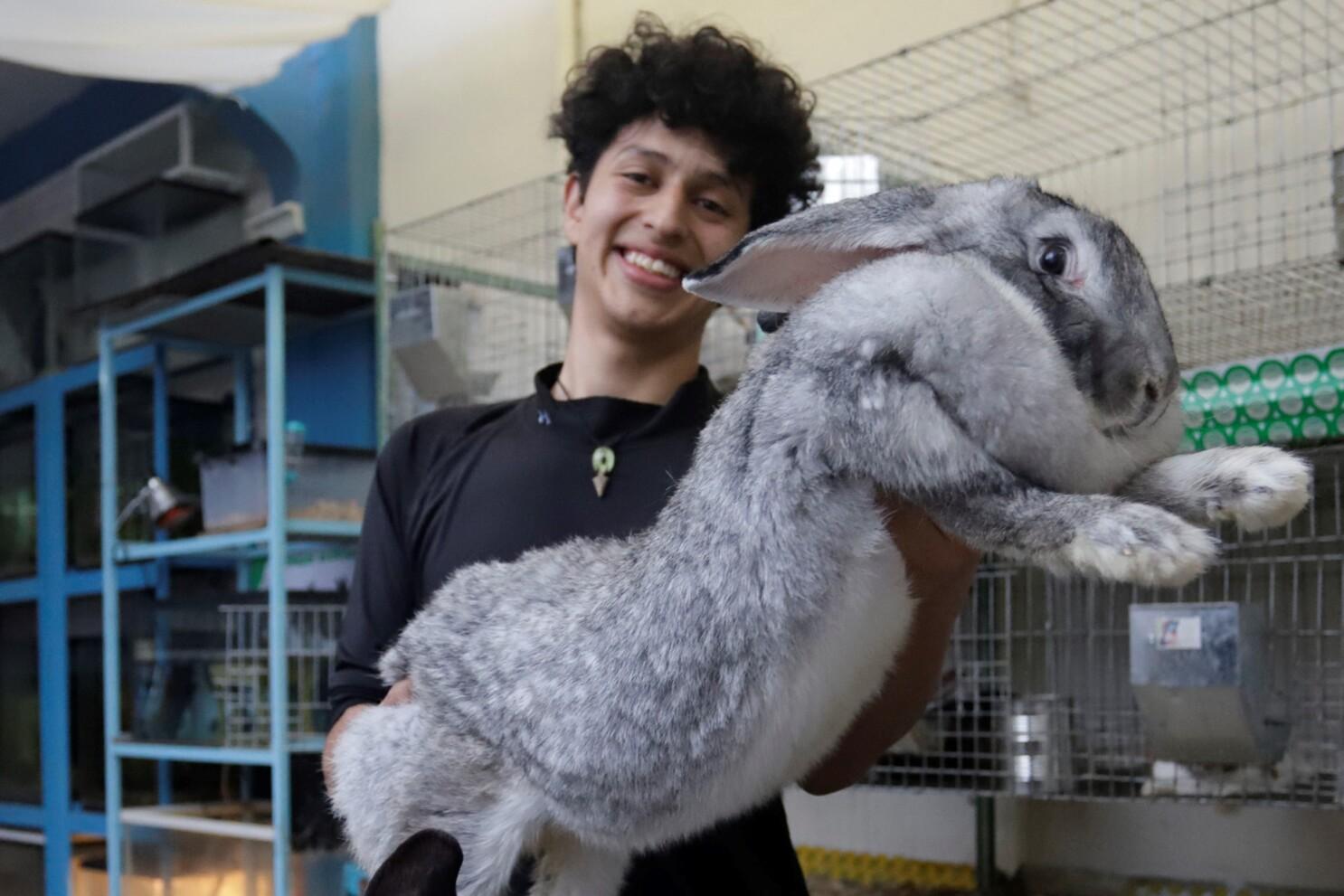 Un Estudiante Mexicano Cría Los Conejos Más Grandes Del Mundo En Puebla San Diego Union Tribune En Español