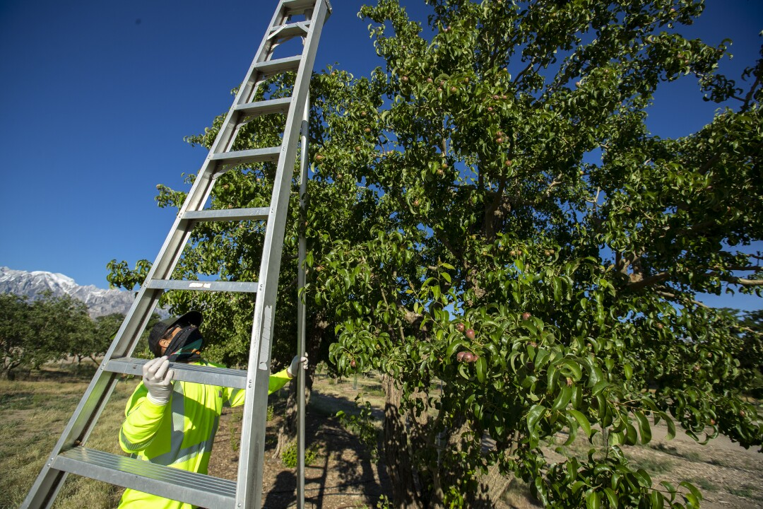 Manzanar National Historic Site arborist Dave Goto sets up a 15-foot ladder to inspect pear trees for fire blight.