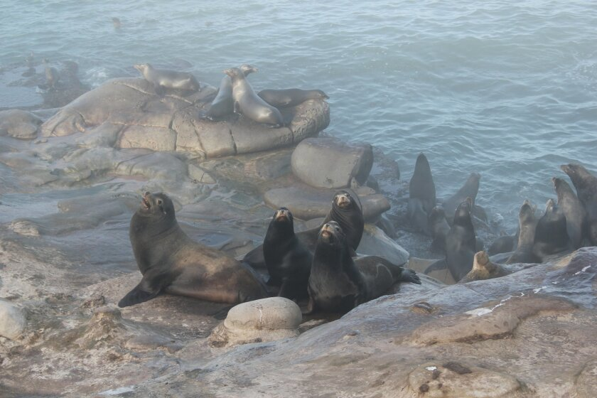 Sea lions at La Jolla Cove are beginning to retreat closer to the water's edge due to the presence of humans on the bluffs.