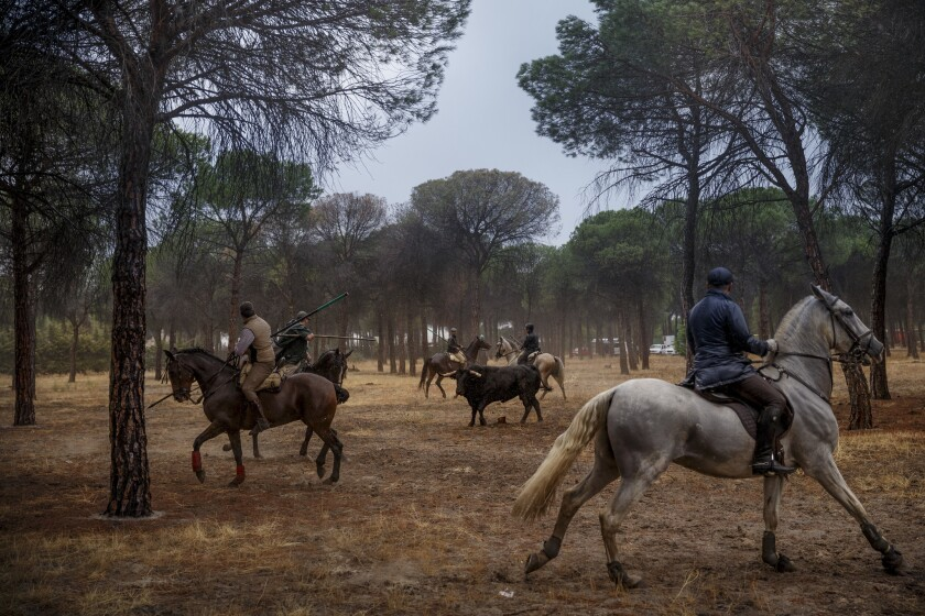 Men on horseback ride through a pine tree forest during a festival event with a bull in Tordesillas, Spain, on Sept. 13, 2016.