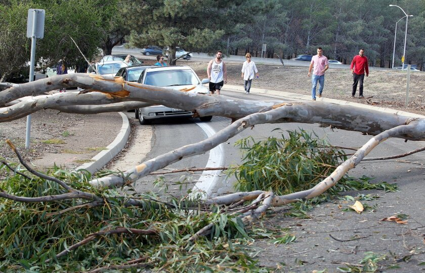 Drivers were stopped and got out of their cars to survey this 60-foot-tall Eucalyptus tree that crashed down, thankfully not on a car or a person on the transition from Ingraham Street to Sea World Drive .