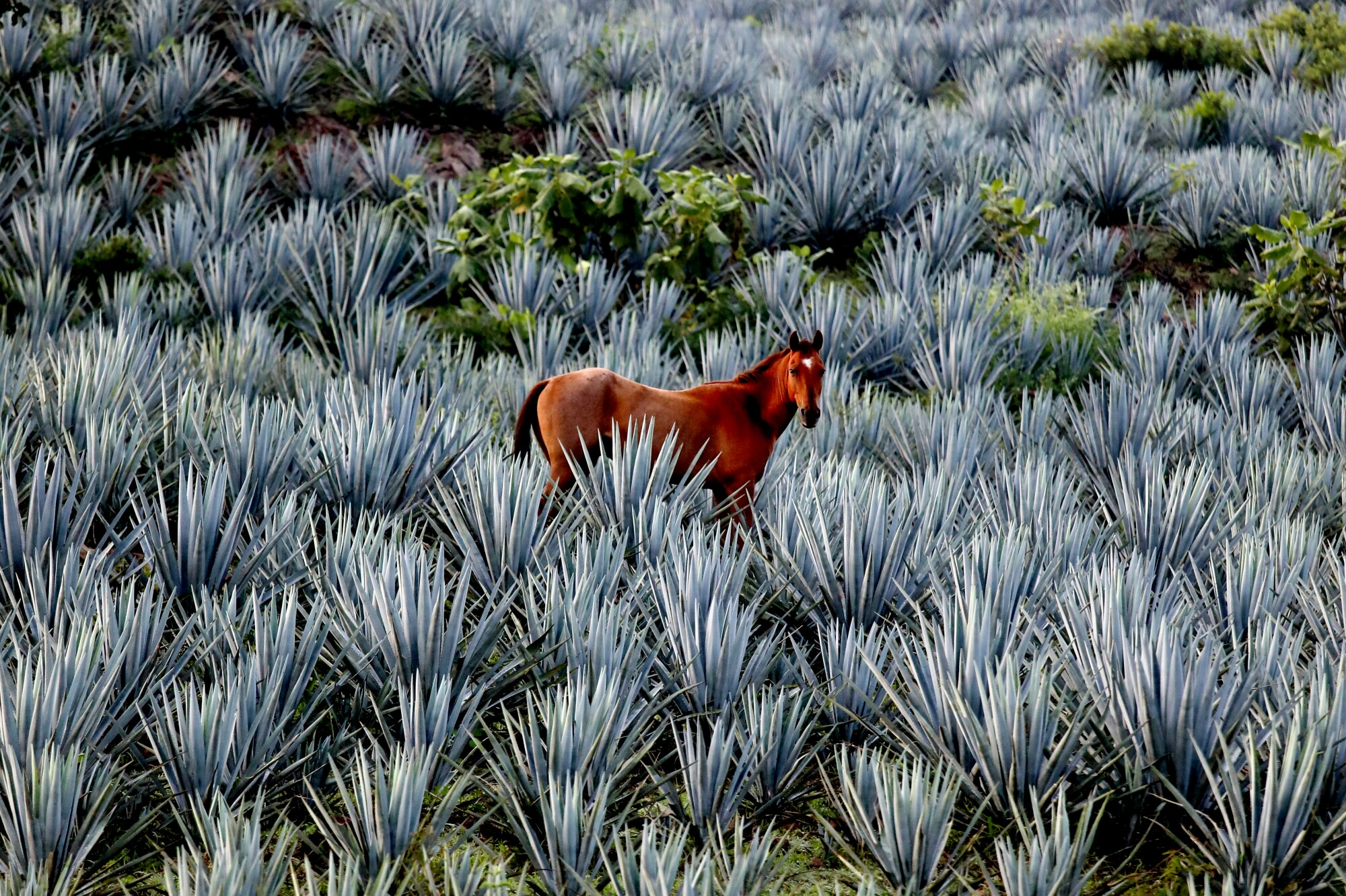 A horse grazes in a blue agave field
