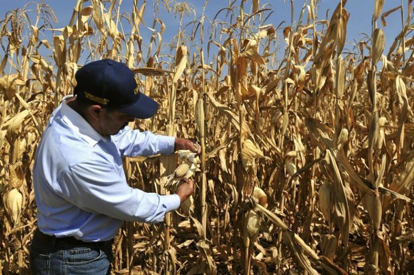 Las heladas impactaron también en el estado de Sinaloa por la entrada del Frente Frío número 21, causando daños parciales y totales en una superficie de cultivos agrícolas de 14.000 hectáreas, siendo las siembras más afectadas las hortalizas, el frijol y el maíz. EFE/Archivo