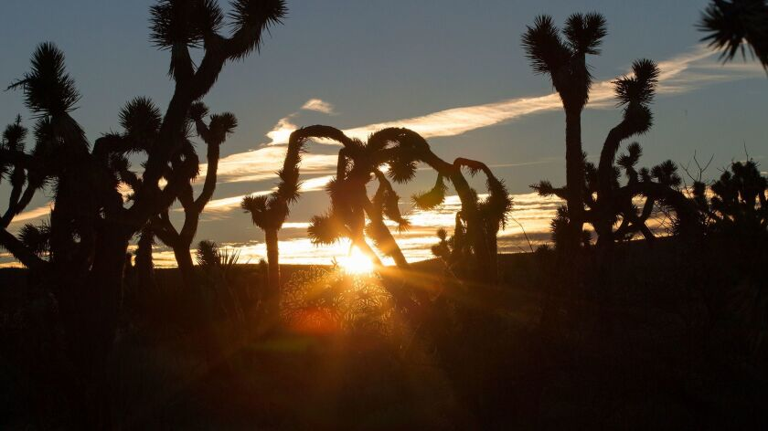 Joshua trees are silhouetted against the setting sun in Castle Mountains National Monument in Southe