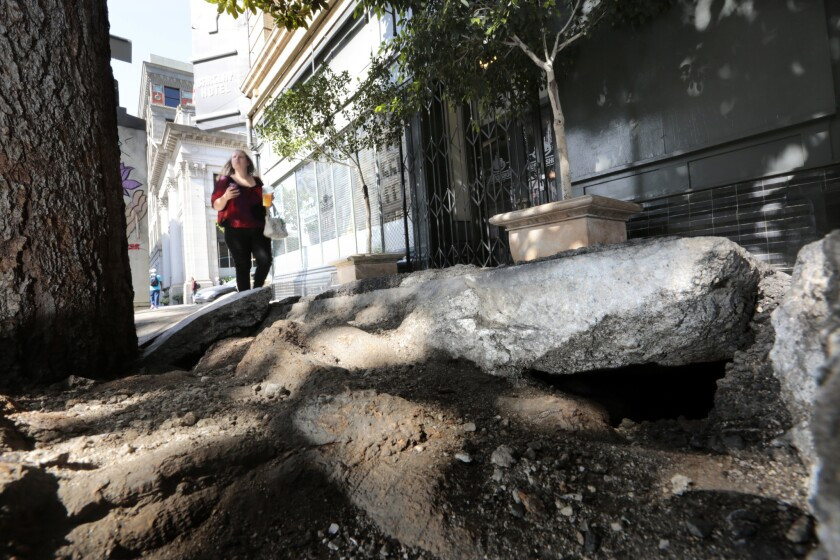 A sidewalk on Main Street, just north of Fourth Street, in downtown L.A. is no match for the roots of a tree.