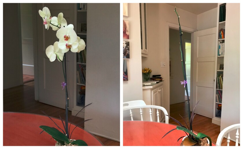 Before-and-after photos show Inga's gift orchid on Day 1 (left) and Day 37.