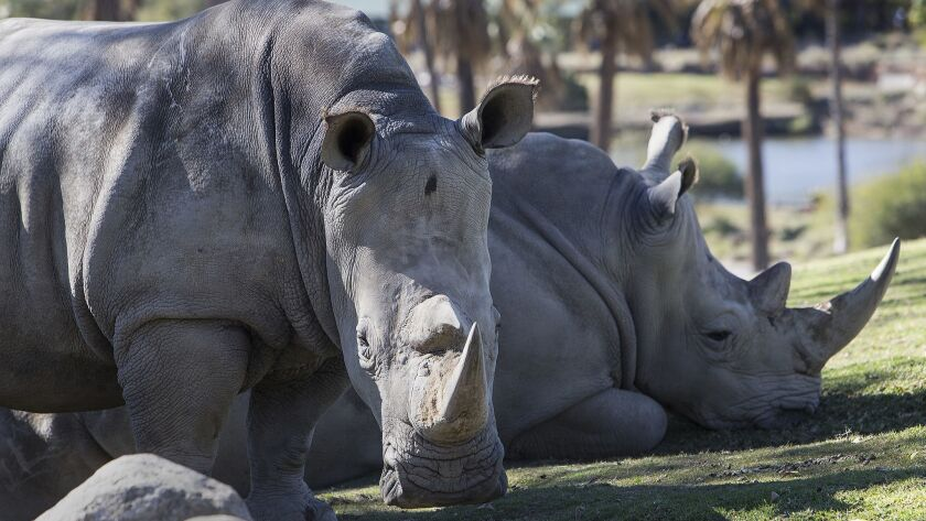 SAN DIEGO, CA - JANUARY 6, 2015: Female Southern White Rhinos rest under a shade tree in the South A