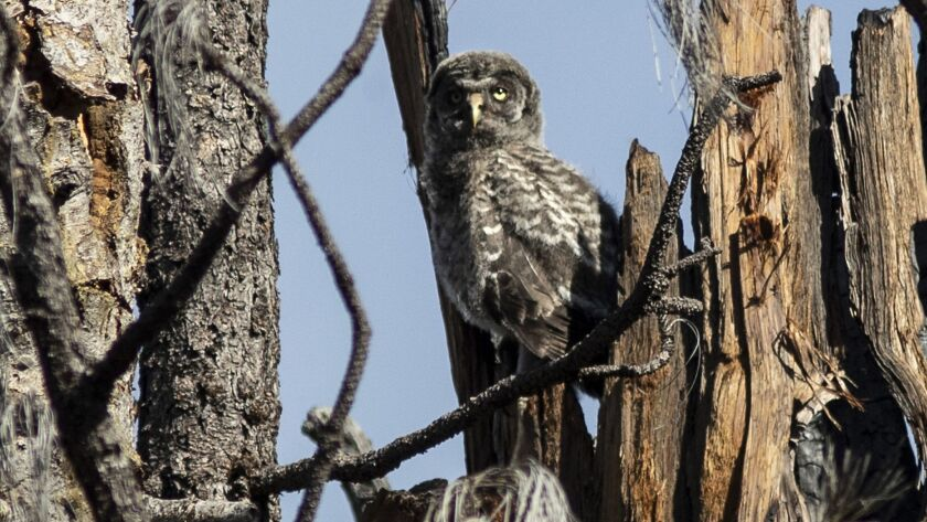 STANISLAUS NATIONAL FOREST, CALIF. -- WEDNESDAY, MAY 30, 2018: A Great Gray Owl sits on its nest in