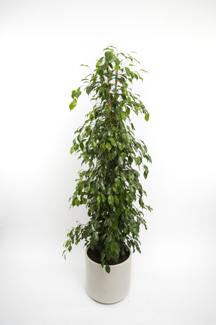 Weeping fig, the Sill