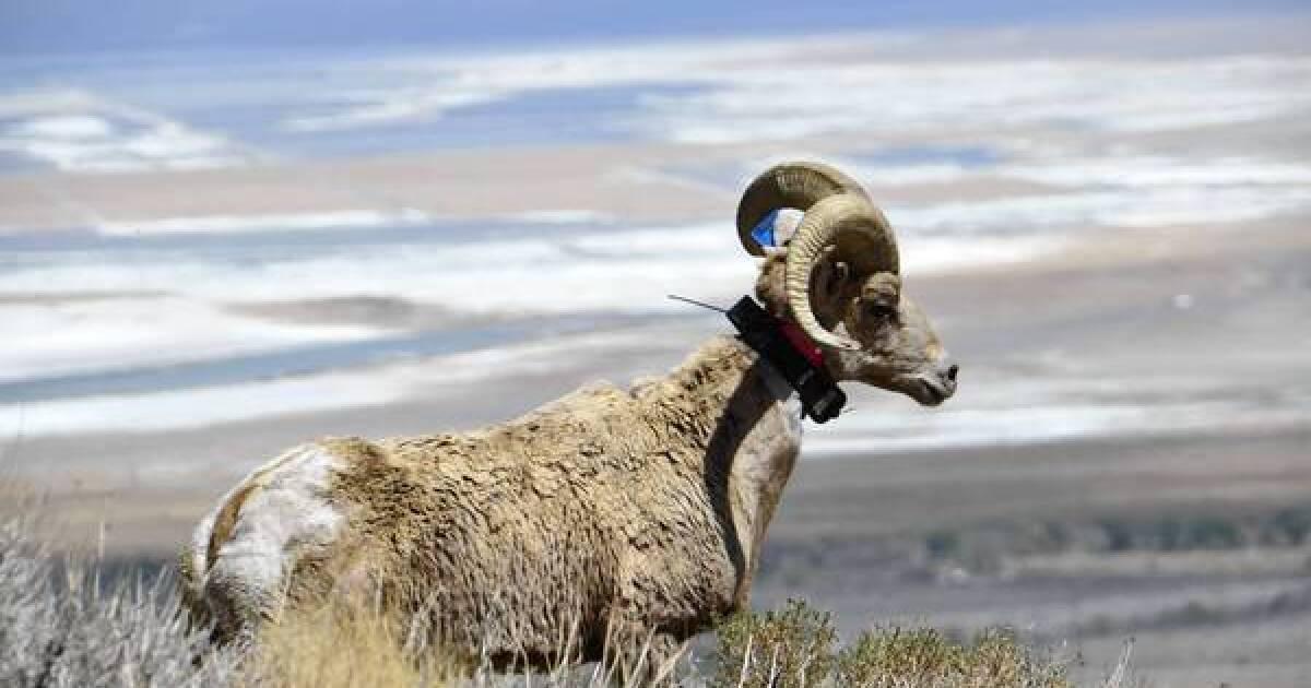 Bighorn Herd Reintroduced To Sierra Nevada Area Los Angeles Times