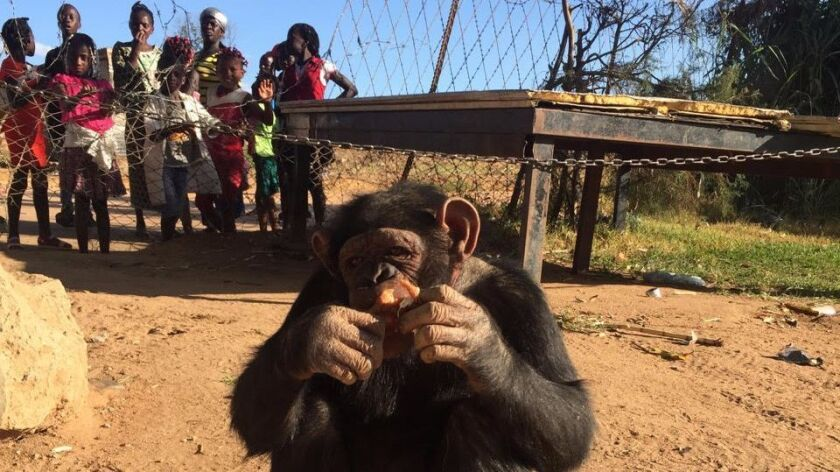 This chimpanzee named Leila was taken from the Mayombe forest in Angola as a baby and sold as an att